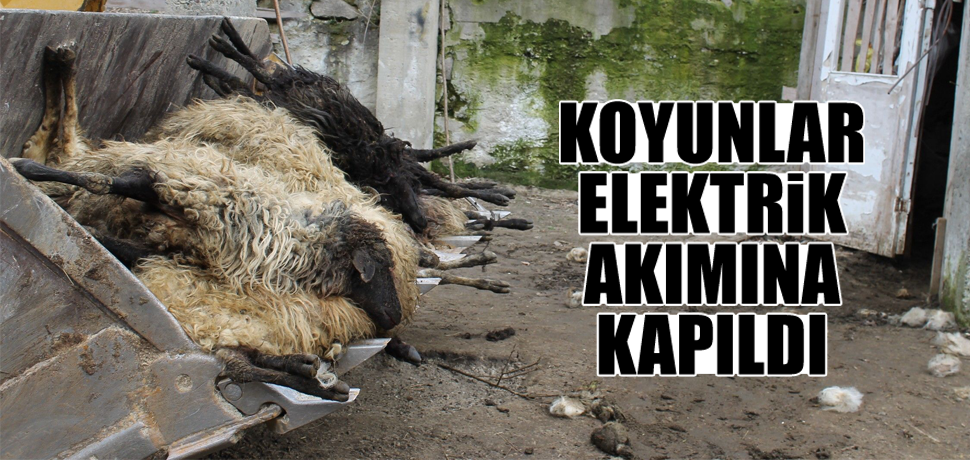 Koyunlar elektrik akımına kapıldı