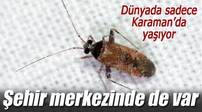 Dünya üzerinde sadece Karaman'da yaşıyor
