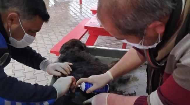 Yaralı köpek tedavi edilerek koruma altına alındı