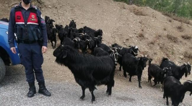 Fatma teyzenin kaybolan keçilerini jandarma buldu