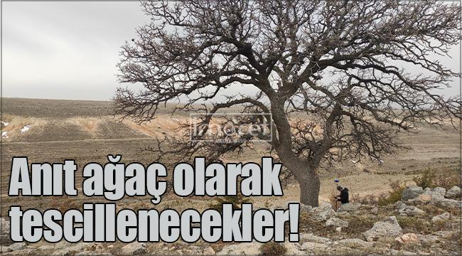 Karaman'da 20 adet meşe ağacı, anıt ağaç olarak tescillenecek