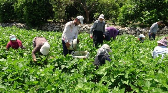 Çiftçiler bayrama denk gelen Dünya Çiftçiler Günü'nü tarlada karşıladı